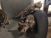 Bengal Kitten Grey and Black