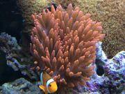 Meerwasser Kupferanemone Blasenanemone