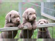 Wurfankündigung Labrador Welpen silber mit