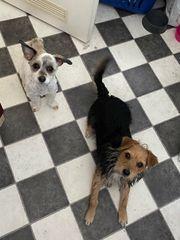 Verkaufe Parson Terrier und Parson