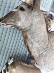 Tierpräparate ausgestopfte Jagdtrophäen