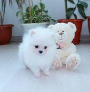 4 schöne Pomeranian Welpen nach
