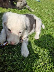 Border Collie - Australien Shepherd Welpen