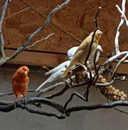 Suche Kanarienvögel Prachtfinken und Wachteln