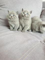 Die letzten drei bkh kitten