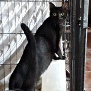 Giaca Giacomo - neugieriges verspieltes Kitten