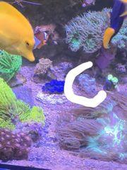 plerogyra blassenkoralle meerwasser blau
