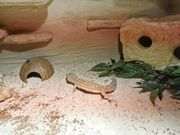 Leoparden Gecko Pärchen