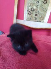 Perser kitte