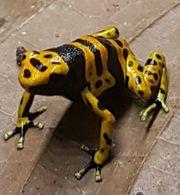 Dendrobaten Dendrobates Leucomelas Frosch