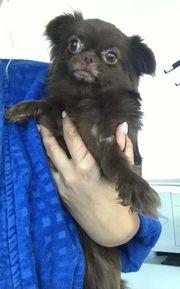 Chihuahua Madchen