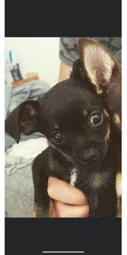 Chihuahua rüde Akimbo
