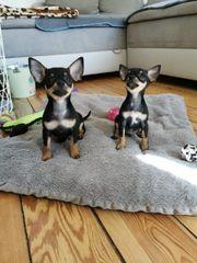 Chihuahua Zwergpinscher Welpen
