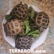 1 1 ein Paar Steppenschildkröten