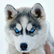 Suer Süße Siberian Husky Welpen