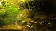 Wasserschildkröten Emydura Subglobosa Eigene Nachzuchten