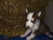 husky welpen Suchen ein neues