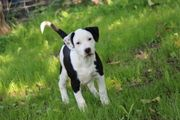 2 American Bully x Labrador-Dalmatiner
