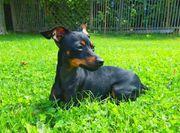 DECKRÜDE Prager Rattler Chihuahua