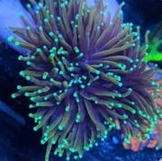 Euphyllia Dragon Soul Koralle