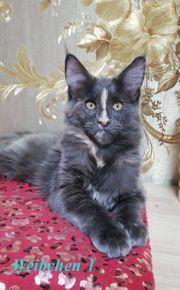 bildhüpsche Maine Coon Kitten