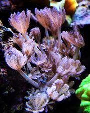 Korallen pumpende Xenien