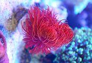 Protula bispiralis - Pracht-Kalkröhrenwurm Rot Meerwasser