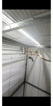 Kanarienvögel Timbrado