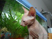 Reinrassige Don-Sphynx Kitten abholbereit