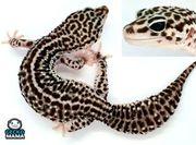 Leopardgecko Mack Super Snow ID