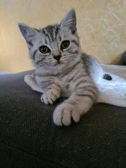 BKH Kitten Mädel ABGABEBEREIT Black