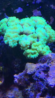 Meerwasser Korallen Aquarium