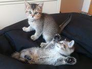 Reinrassige BKH Kitten noch 2