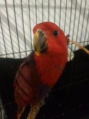 Neuguinea edel Papagei