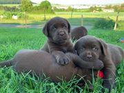 Braune Labrador Welpen mit Top