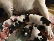 Französische Bulldoggen Welpen in verschiedenen