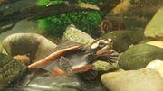 Rotbauch-Spitzkopfschildkröte Emydura subglobosa