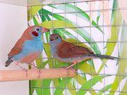 Prachtfinken Schmetterlingsfinken
