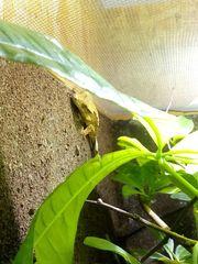 Kronengecko Nachzucht 0 1 Weibchen
