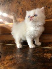 Perser Kätzchen mit Nase nur