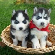 Megasüsse Siberian Husky Welpen ndhsndvdh