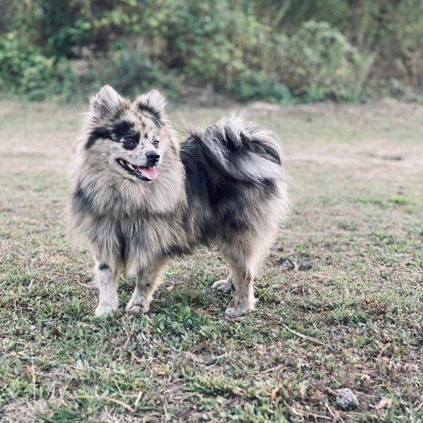 Blue Merle Kleinspitz Zwergspitz Deckrude In Karlsruhe Hunde Kostenlose Kleinanzeigen Bei Quoka De