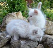 2 Sibirisch Katze suchen ein