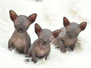 Reinrassige Canadian Sphynx Kitten mit