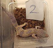 Leopardgeckos 1 0 NZ2020 Alle