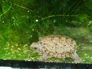 Zwerg-Moschusschildkröten