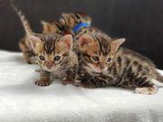 Reinrassige Bengalkatze Bengal Katze kitten