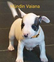 Miniatur Bullterrier Französische Bulldogge 8