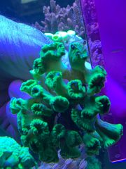Caulastrea Neon Green Meerwasser Korallen