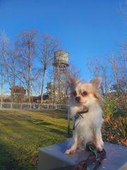 Chihuahua Jack Russel Mix Deckrüde